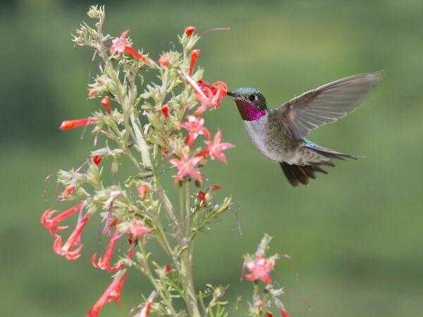 male Broad-tailed Hummingbird vising flowers
