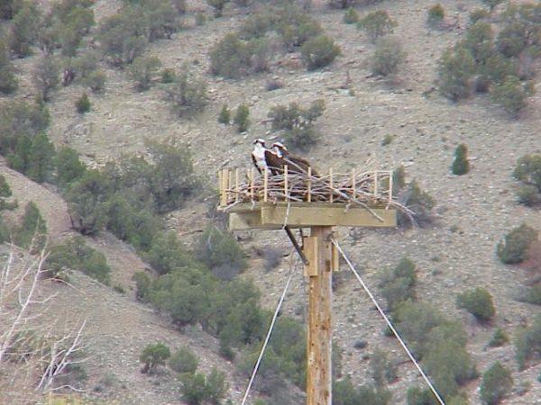 Osprey nest on platform