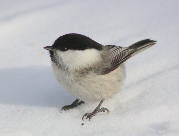 Chickadee, snow