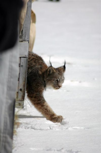 lynx being released from a carrier