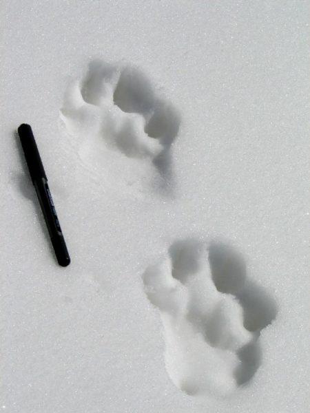 lynx footprints in snow