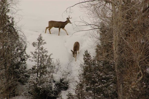 two deer on snowy hill