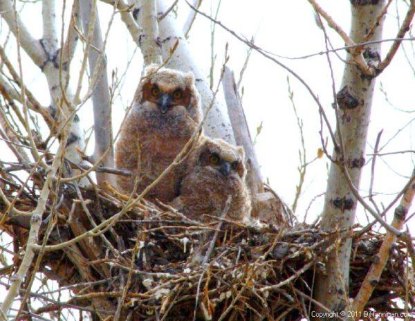 Owlets in nest