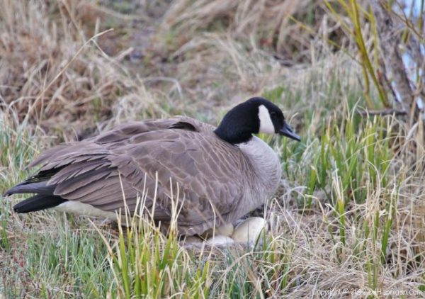 Canada Goose with eggs on nest