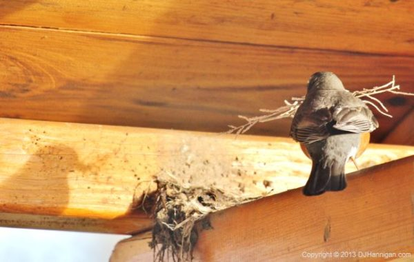 American Robin building a nest