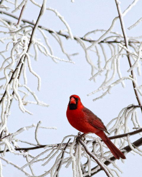 Northern Cardinal in Lamar, Colorado