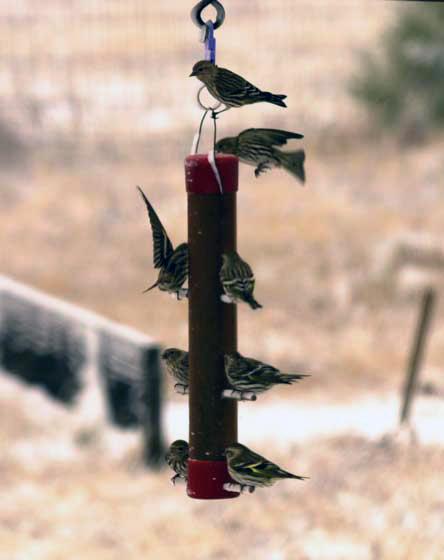 Goldfinches on bird feeder