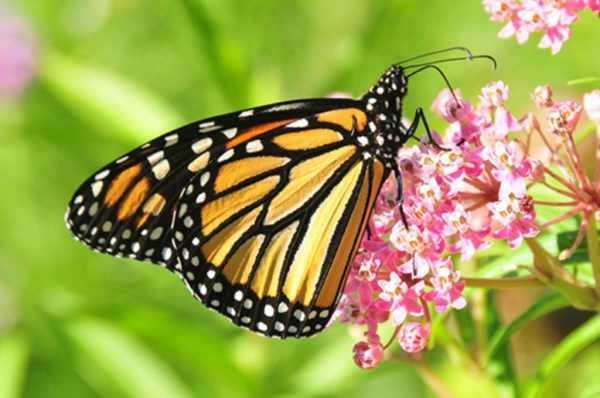 Monarch butterfly with milkweed