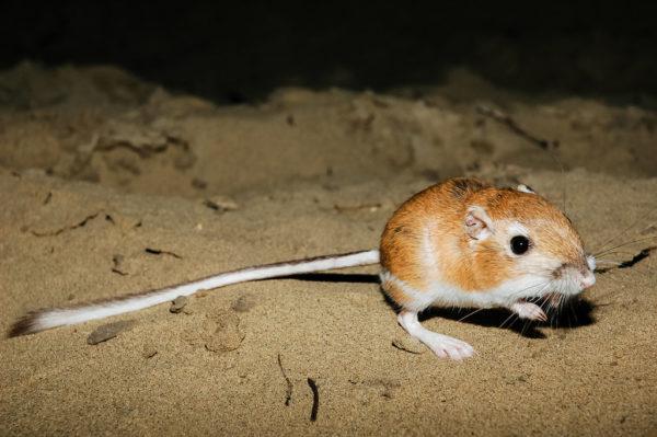 Ord's kangaroo rat.