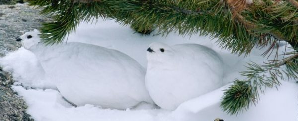 White-tailed Ptarmigan in winter plumage camouflaged with snow, Rocky Mountain National Park