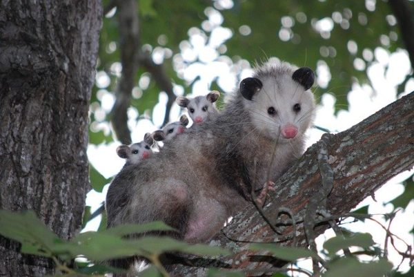 Opossum with three babies on back