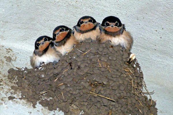 Cliff Swallow nest
