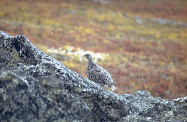 White-tailed Ptarmigan in summer plumage camouflaged with rocks, Rocky Mountain National Park