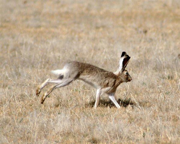 White-tailed jackrabbit.